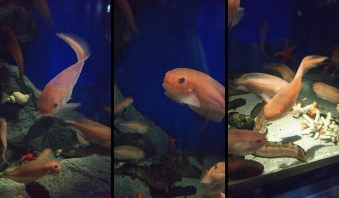 歴史ある水族館で見つけた可愛い深海の仲間たち『魚津水族館』