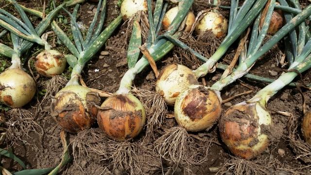 玉ねぎの再生栽培のコツを解説!もう一度食べれる失敗しない方法!(仮)