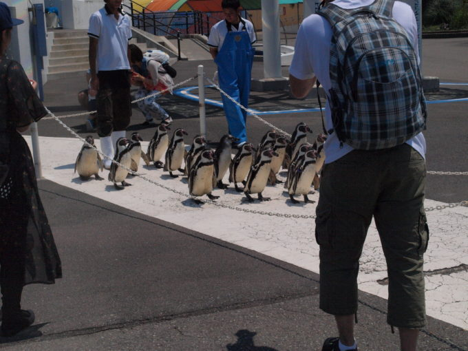 散歩するペンギンにニヤニヤ必至!真冬にはオオサマペンギンも!?越前松島水族館!2