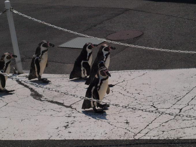 散歩するペンギンにニヤニヤ必至!真冬にはオオサマペンギンも!?越前松島水族館!3