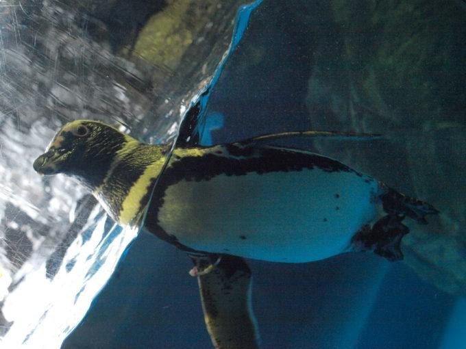 むしろ寒いのは苦手!南米、南アからやって来たCOOLで可愛いペンギン達!2