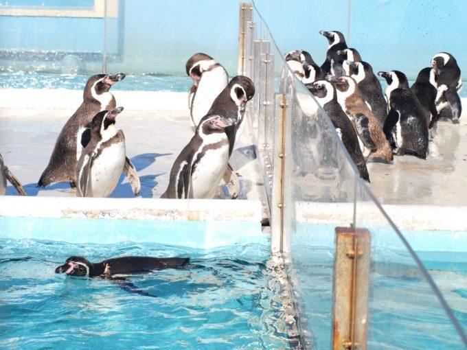 むしろ寒いのは苦手!南米、南アからやって来たCOOLで可愛いペンギン達!4
