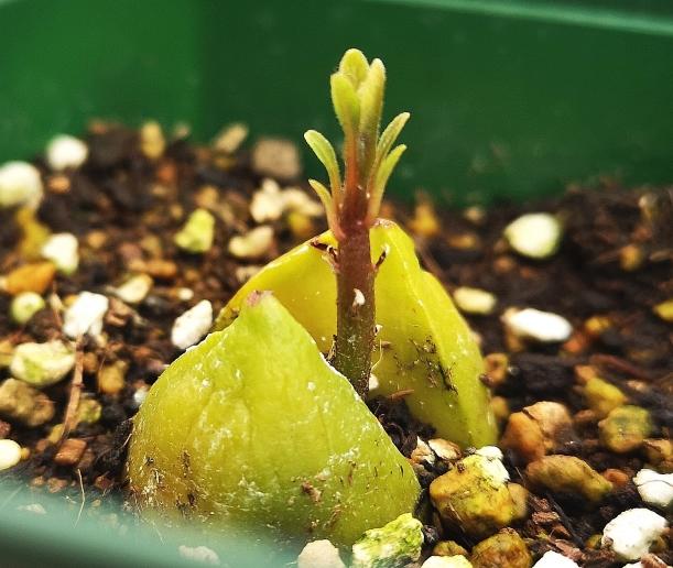 アボカドの種で再生栽培!雌花や雌花の受粉のコツでもう一度収穫♪