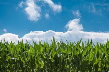 チンゲンサイの再生栽培のコツを解説!もう一度食べれる失敗しない方法!(仮)
