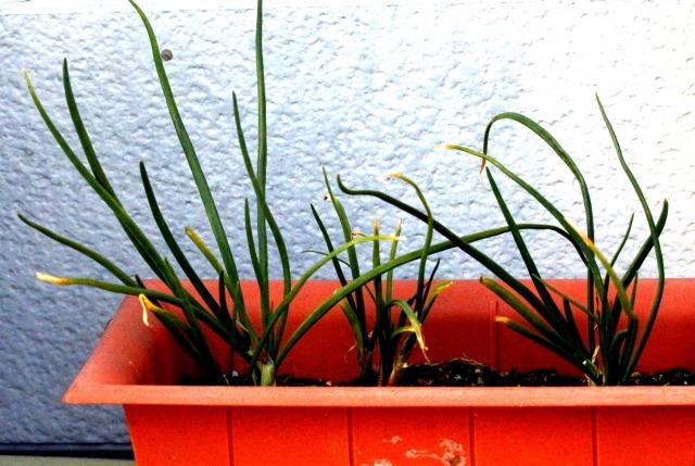 小さいプランターでも育つ夏植え野菜はコレ