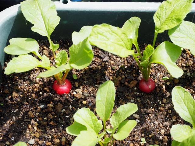 小さいプランターで野菜を育てるコツとおススメ品種!ベランダや窓辺OK!