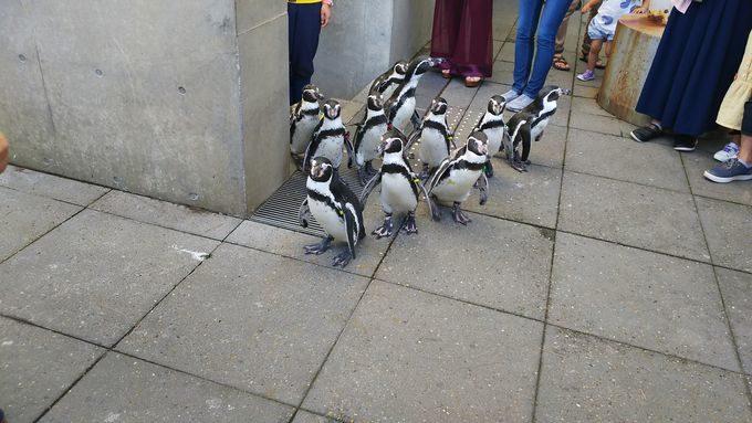 おまけ.距離感が近すぎる!?目の前を横切るペンギン散歩!!2