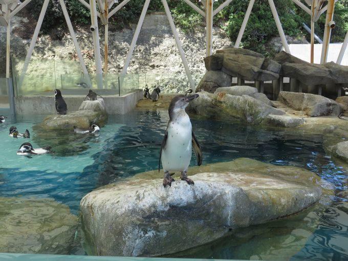 おまけ.距離感が近すぎる!?目の前を横切るペンギン散歩!!1