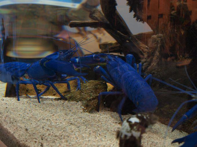 男子が好きそうなブルーのザリガニ!海外ではご馳走のマロン・ロブスター!1
